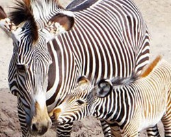 Double vision as two Grevy's zebra foals born in one day