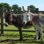 Jack and Sam are now settling into their new digs at The Donkey Sanctuary in Britain. Photo: The Donkey Sanctuary
