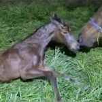 It's a girl! Filly foal for star racemare Black Caviar