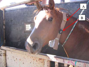 """An adult free-roaming horse during collar deployment. """"A"""" shows a breakaway device constructed of rubber tubing. """"B"""" is a breakaway device which operates on a pre-programmed time-release."""