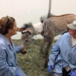 Orphaned Grevy's zebra foal making strides