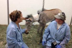 Orphaned Grevy's zebra foal making strides