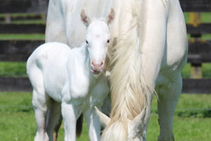 Rare white thoroughbred filly born at NZ stud