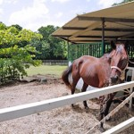 A horse in the new quarantine facility at Hacienda Siesta Alegre.