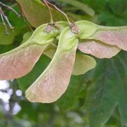 More evidence to support role of sycamore seeds in Equine Atypical Myopathy
