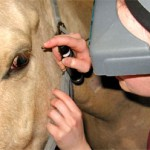 Corneal ulcers are the most common eye problem in horses. Here, a veterinarian performs an ophthalmology exam on a horse