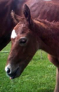 foal-foley