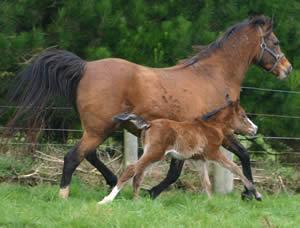 foal-gallop