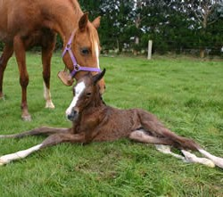 Scoring system developed to assess survival chances of seriously ill foals