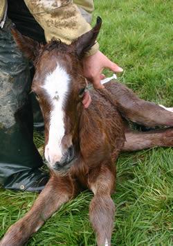 foal-shots