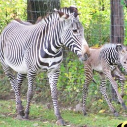 Grevy's Zebra foal born at US zoo