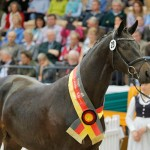 Sir Sansibar, Champion Stallion and highest priced lot at the Trakehner Stallion Market. He fetched 300,000.
