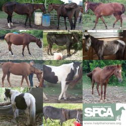 Ten horses and a steer saved from illegal slaughter operation