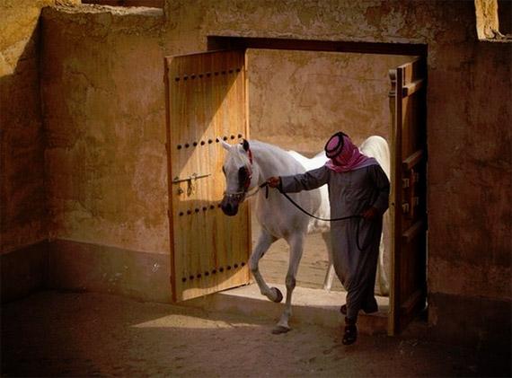 Qatar to host global arabian horse gathering - Horsetalk.co.nz - photo#39