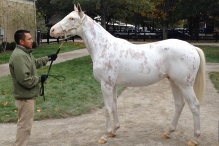 Painted Patchen, a registered white thoroughbred by Thunder Gulch and out of Spot of Beauty.