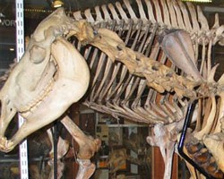 Quagga takes centre stage in Bone Idol makeover
