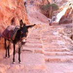 A working donkey at Petra.