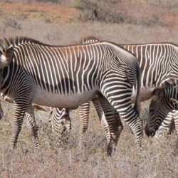 Drastic measures urged to save Grevy's Zebra