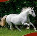 Ireland to drive resurgence of Irish Draught Horse