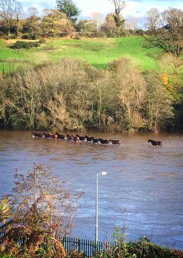 A black mare leads the horses to safety from floodwaters in the River Slaney. Photo: Wexford SPCA/Facebook