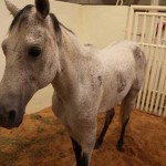The Texas-based charity Ranch Hand Rescue has paid for ground-breaking surgery to give Spirit a brighter future.