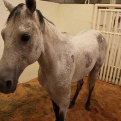 Ground-breaking leg surgery to help therapy horse
