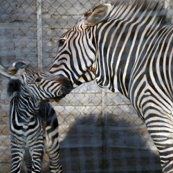 Sad loss of endangered zebra foal at British zoo
