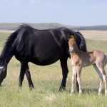 A Nokota mare and foal. Economics has meant the conservancy's breeding program has been severely curtailed.
