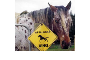 NZ breeder brings new attention to foundation appaloosa bloodlines