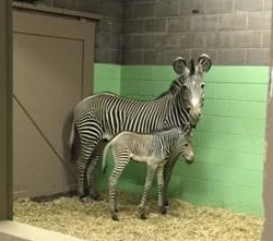 Grevy's Zebra foal born on New Year's Day