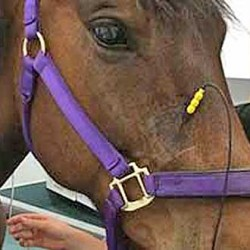 Nerve stimulation therapy offers hope for headshaking horses