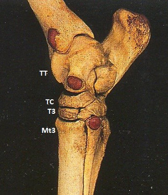 hock-joint