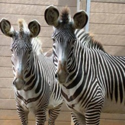 Grevy's zebra mares a new addition for Florida zoo