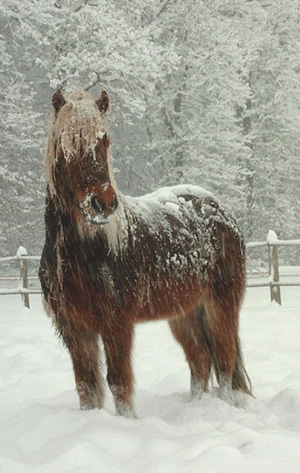 An Icelandic horse in the snow.