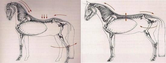 Oefeningen rug- en buikspieren paard
