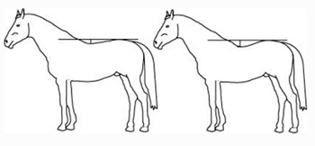 The horse's natural reaction to the rider's weight.