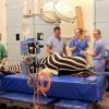 Long hospital stay sees Zippy the zebra back on his feet