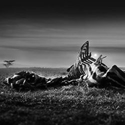 Haunting image of zebra carcass wins photo contest