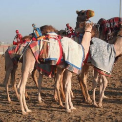 A day at the camel races