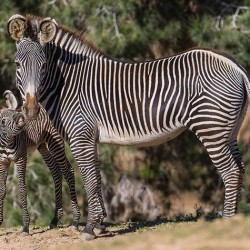 San Diego welcomes two new Grevy's Zebra foals