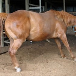 Researchers show value of diet and exercise for laminitis-prone horses
