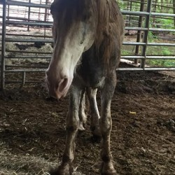 Authorities seize 54 Tennessee walking horses