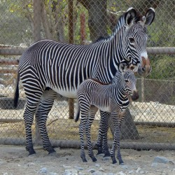 California zoo welcomes birth of endangered Grevy's zebra foal