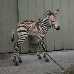 Super cute: rare new zebra foal born in US