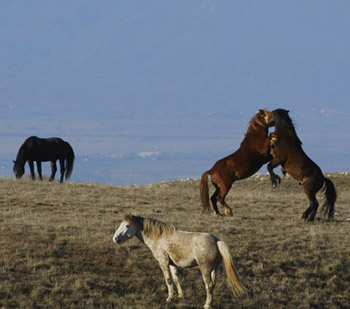 Wild horses in the mountains of Livno, Bosnia & Herzegovina.