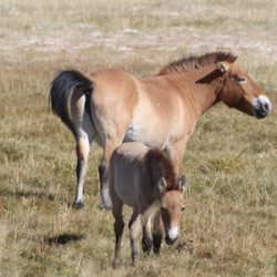 Tails from the Gobi Desert: Scientists crack problem in analysing equine hairs