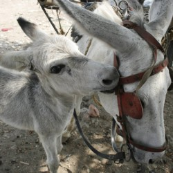 'Donkey whisperers' learn a silent equine language