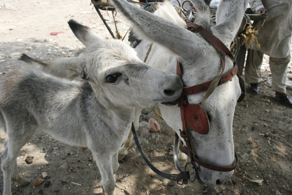 Working animals are crucial to the livelihoods of an estimated 600 million people.. © The Brooke