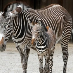 New foal brings Grevy's zebra herd to 9 at Dutch zoo