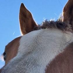 Push in India save at-risk Manipuri ponies